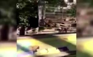 קפץ לכלוב אריות (צילום: יוטיוב)